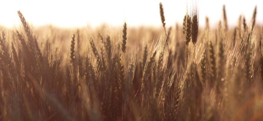 wheat695web